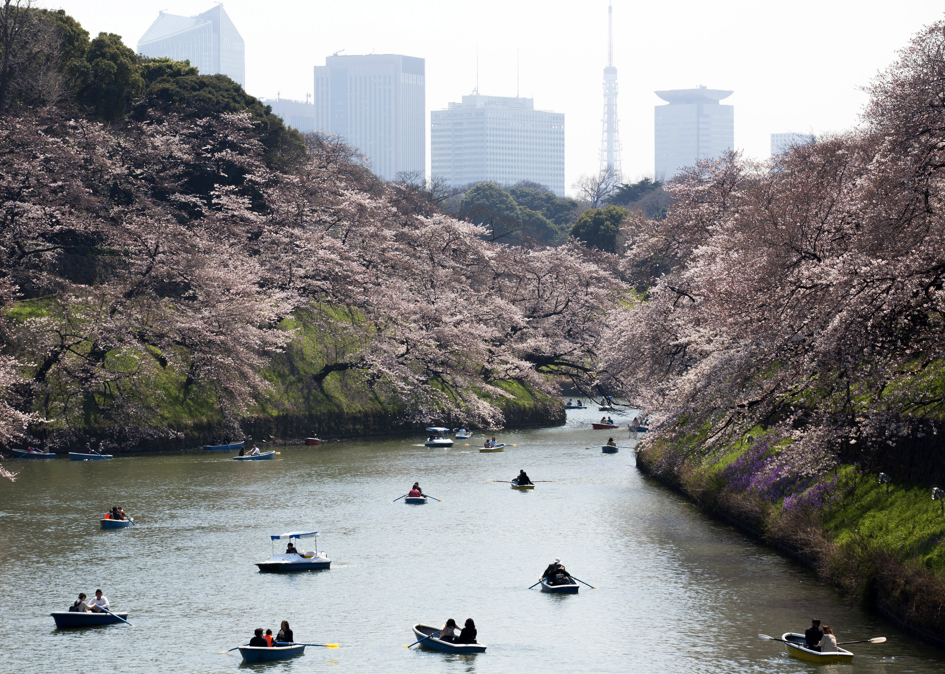 Cherry Blossom Season Starts In Japan - First News Live