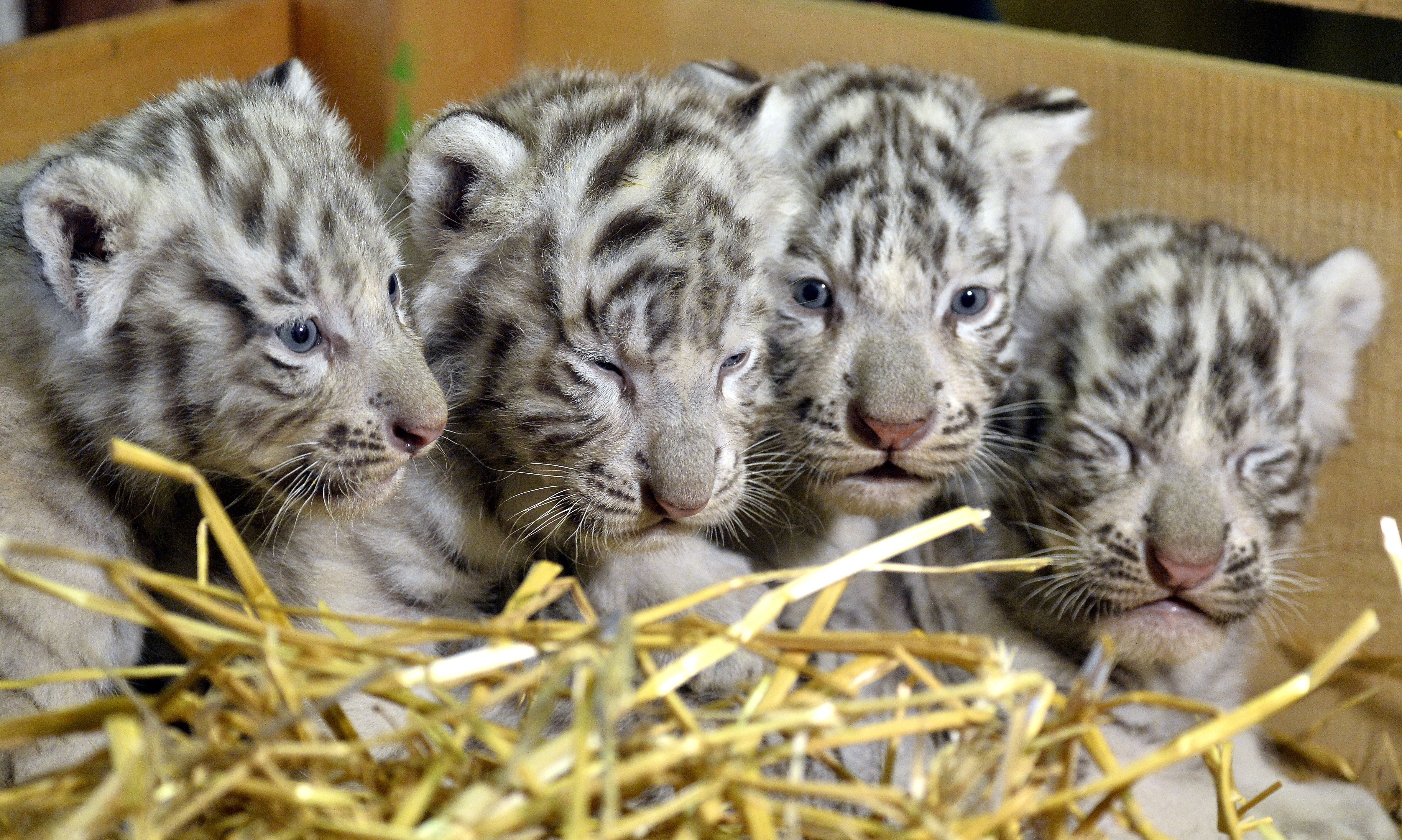 Four Of The Cutest White Tiger Babies Presented At A Zoo In Austria First News Live