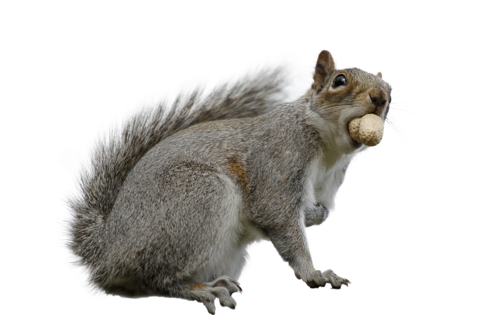 Should Squirrels Be Culled To Help Protect Trees First
